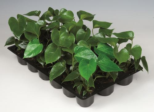 Anthurium pot 8cm plug tray