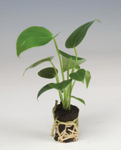 Anthurium pot plug (2 cm diameter)
