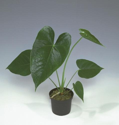 Anthurium snij 20-25cm