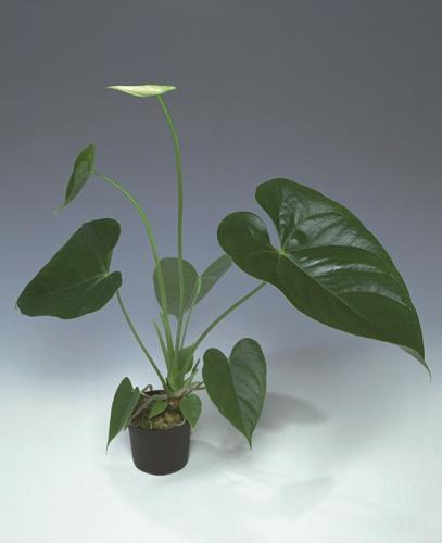 Anthurium snij 30-40cm