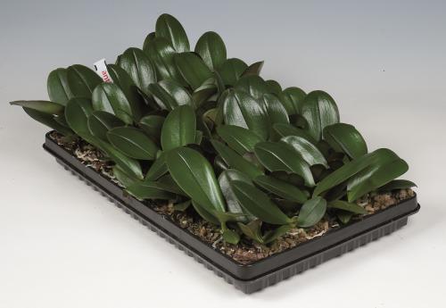 Phalaenopsis 10-14cm