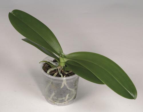 Phalaenopsis pot koelbare plant